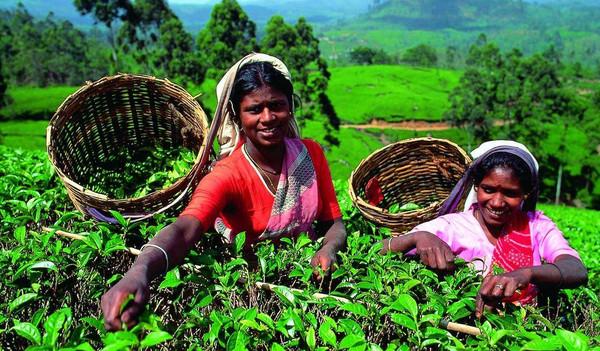 Tee aus Sri Lanka
