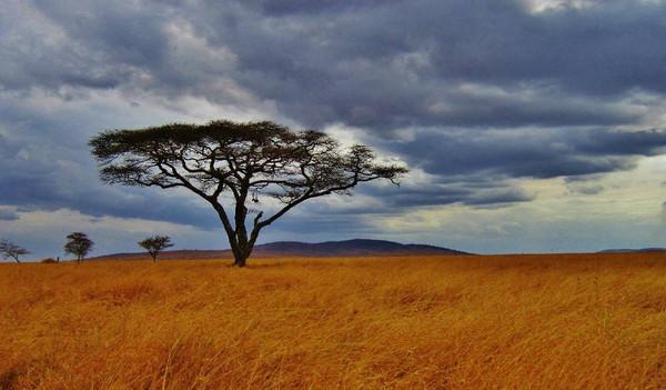 Bild eines Akazien Baumes auf Safari im Serengeti National Park, Tansania