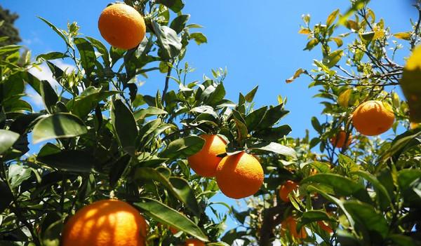 Orangenbäume in Italien